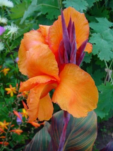 Купить рассаду цветов:Канны
